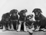 Group of Alsatian Puppies