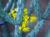 Staghorn Cholla Cactus and Desert Brittle Bush Flowers