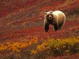 An Alaskan Brown Bear Standing on a Tundra with Fall Foliage (Ursus Arctos)