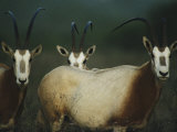A Group of Scimitar Horned Oryxes