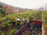 Picking Grapes  Languedoc  France
