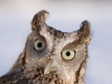 A Captive  Endangered Eastern Screech Owl at a Raptor Recovery Center