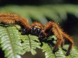 Close-up of Tarantula on Fern  Madagascar