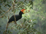 Young Rhinoceros Hornbill Feeds on a Fig from a Strangler Fig Tree in Borneo  Indonesia