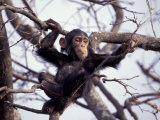 Young Male Chimpanzee  Gombe National Park  Tanzania
