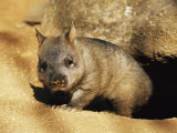 A Juvenile Southern Hairy-Nosed Wombat Emerging from Its Burrow; the Wombat is Seven Months Old