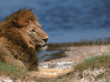 Portrait of Male African Lion  Tanzania