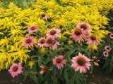 Garden with Purple Coneflowers and Astilbe