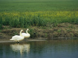 Pair of Mute Swans Standing at Waters Edge