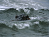 Hippopotamus Peering Out of the Surf