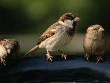 Sparrows  Central Park  NYC