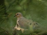 Mourning Dove (Zenaida Macroura) Nesting in a Pine Tree