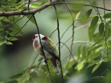 Many-Colored Fruit Dove Sitting on a Slender Tree Branch