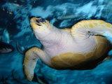 Turtle Underwater  Australia