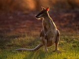 Agile Wallaby (Macropus Agilis)  Kakadu National Park  Australia