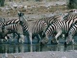 Zebras (Equus Zebra) Drinking in River  Etosha National Park  Namibia