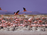 Flamingoes  Bonaire