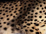A Close View of an African Cheetahs Spotted Fur