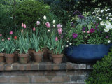 Spring Flowers and Tulips in Pots