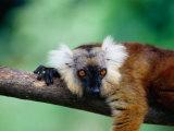 Female Black Lemur (Eulemur Macaco Macaco) on Branch  Antsiranana  Madagascar