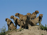 A Group of African Cheetahs Scan Their Territory for Predators and Prey
