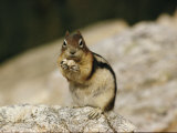 Close View of a Chipmunk