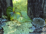 A Cinnamon Vine and Foliose Lichen Growing on a Wooden Fence