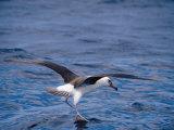 Black-Browed Albatross Fly-Walks over Ocean Surface