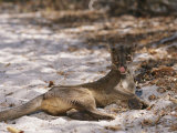 A Fossa Relaxes on the Ground
