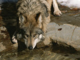 A Gray Wolf Drinks Water from a Pond Papier Photo par Taylor S. Kennedy