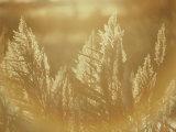 Sun Highlights Wispy Seedheads on Bullrushes