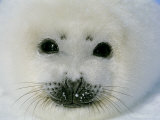 The Face of a Baby Harp Seal in the Fat Whitecoat Stage