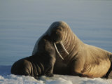 An Infant Atlantic Walrus Nuzzles its Mother