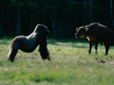 A Gorilla (Gorilla Gorilla Gorilla) Stands His Ground against a Forest Buffalo (Syncerus Caffer)