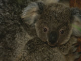A Juvenile Koala Clings to its Mother in Eastern Australia