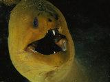 A Close View of a Green Moray Eel Papier Photo par Bill Curtsinger