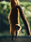 A Captive Red-Ruffed Lemur Hangs from a Tree