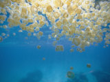 Sea Thimble Jellyfish