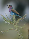 A Lilac-Breasted Roller Vocalizes While Perched on a Branch