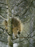 A North American Porcupine Climbs Down a Tree in the Snow