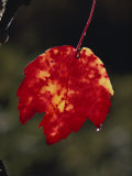 A Close View of Dew Drops Running off the Tip of a Red and Yellow Leaf