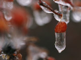 Ice Clings to Rose Hips During a Winter Storm