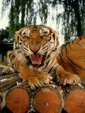 A Captive Tiger Snarls at the The Camera