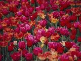 Tulips Bloom in the Hotel Gardens