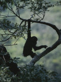 Young Chimpanzee Playing in Tree