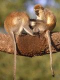 Vervet Monkeys  Tanzania