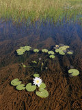Water Lily Pads and Flower