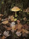 Maple Leaves Frame a Fly Agaric Mushroom