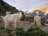 Mountain Goats Near Sperry Chalet  Glacier National Park  Montana