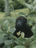 A Juvenile Howler Monkey Hides in a Patch of Greenery